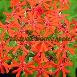 Lychnis chalcedonica - сортове (Лихнис, Малтийски кръст) - сем. Caryophyllaceae